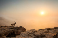 Image of a male ibex standing on the cliff of the Ramon Crater, with fog in the background
