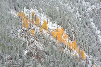Patch of Yellow Aspens
