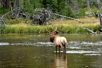 Northern Elk Crossing