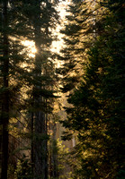 Sunset in Mariposa Grove